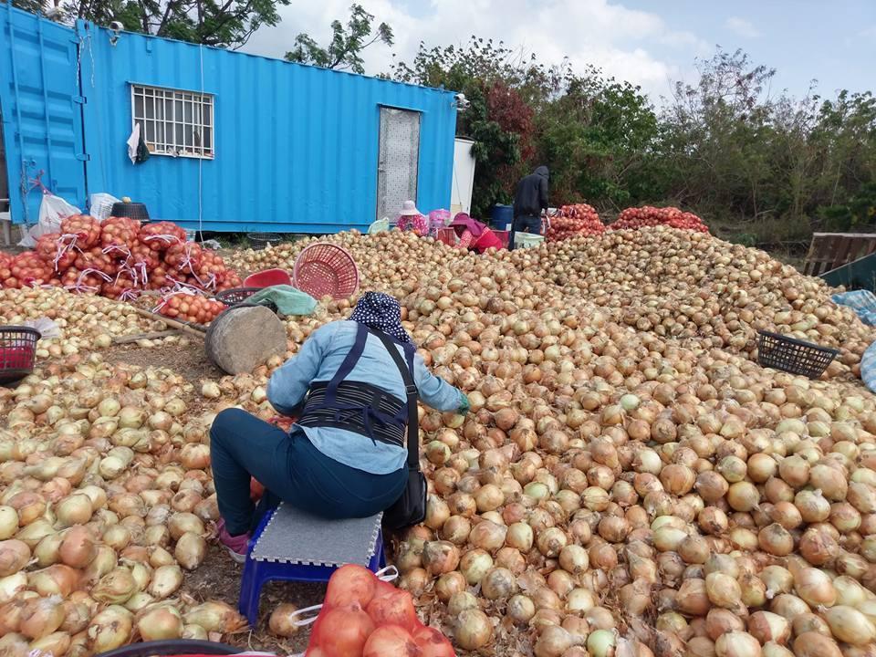 4000公斤的有机洋葱因小农租不到冷藏设备,将面临4月底雨季来时发芽作废的危机。
