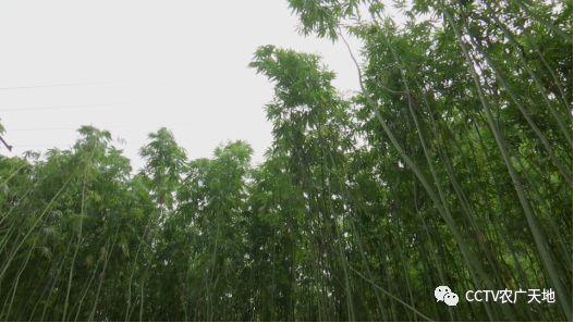 大麻听说过没有?它是怎么种出来的呢