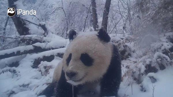 (红外相机拍摄到的大熊猫)