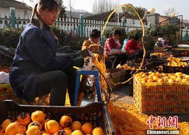 ↑资料图:陕西省陇县天城镇范家营村农户正在采摘柿子,进行柿饼深加工。在当地政府扶贫干部帮助下,该村以合作社加农户方式,正在以采摘、深加工、销售一条龙服务模式脱贫。