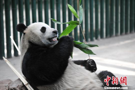 """大熊猫""""浦浦""""在吃""""零食""""。 于海洋 摄"""
