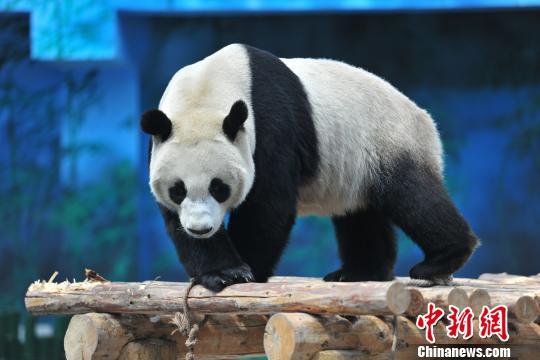 """大熊猫""""浦浦""""在熊猫馆玩耍。 于海洋 摄"""