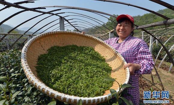 在河北灵寿县南营乡一茶叶合作社,农民在展示刚刚采摘的龙井青叶。