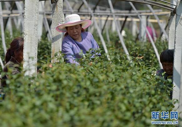 在河北灵寿县南营乡一茶叶合作社,农民在茶园内采摘龙井青叶。