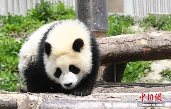 资料图:卖萌的熊猫宝宝。安源 摄