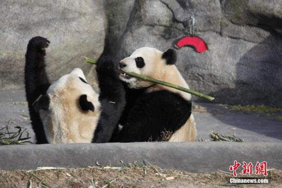 """当地时间2018年3月18日,两只大熊猫双胞胎""""加盼盼""""、""""加悦悦""""在多伦多动物园内打闹争食。当日是它们在多伦多与公众见面的最后一天。"""