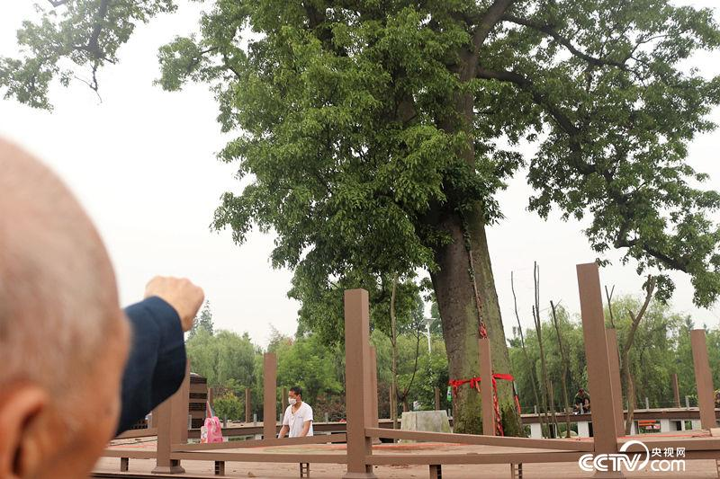 从小在古树下长大的潘运钦发现这十年来古树发出了一些新枝,以前几十年都没有过。(何川/摄)