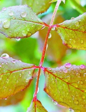 雨后,植物枝叶上挂满晶莹的水滴。