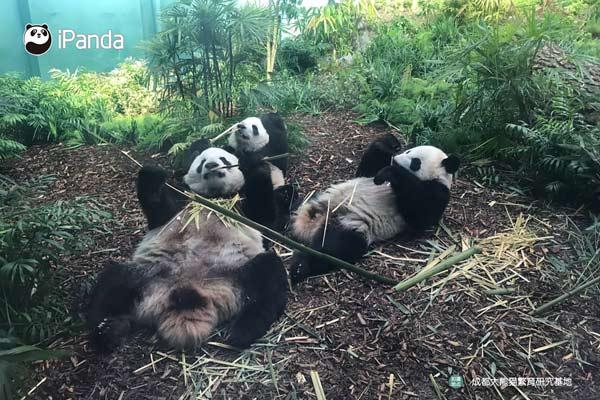 大熊猫享受美味竹子