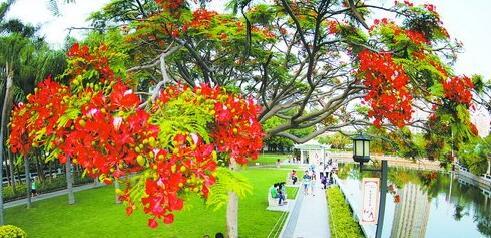 最近厦门天气炎热,中山公园凤凰花开,美景迷人。