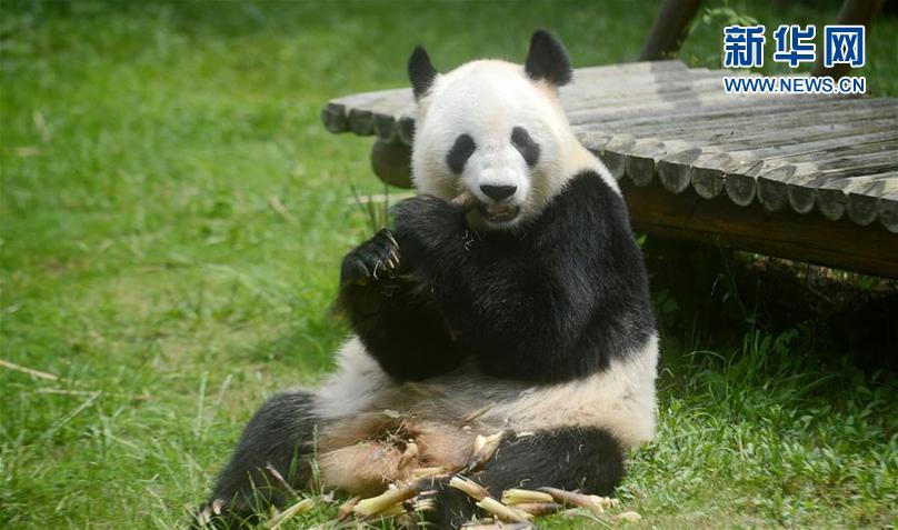 """5月17日,在扬州市茱萸湾动物园,大熊猫""""瑛美""""在吃竹笋。"""