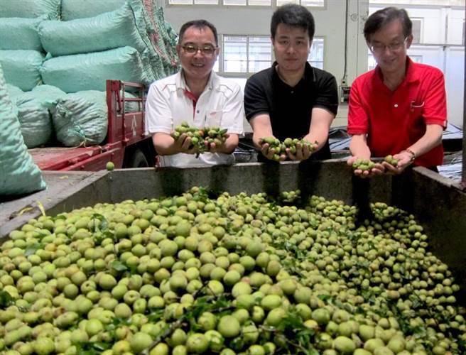 青梅是南投主要农特产,目前透过农会整合,直接到杭州设卖场贩卖。