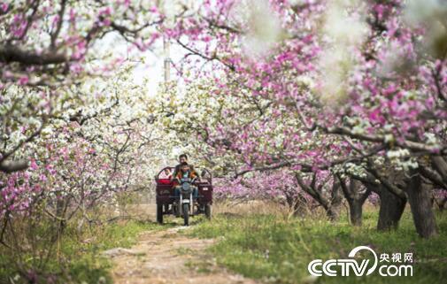北寨张千亩赵王仙桃种植基地