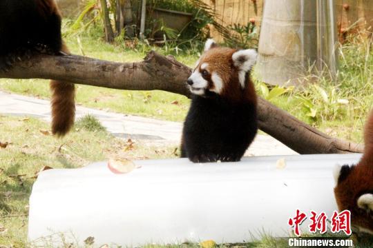 图为小熊猫吃冰镇苹果。