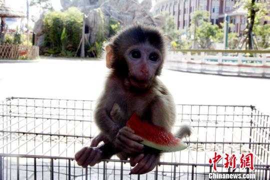 图为小猴子啃西瓜。