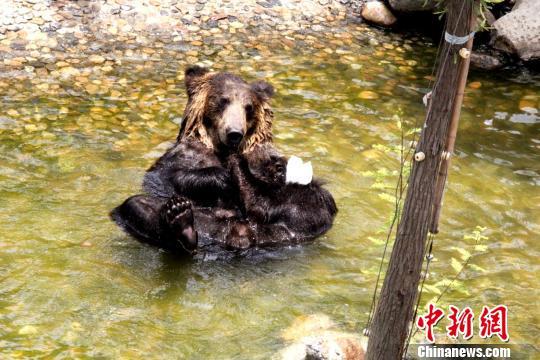 图为棕熊吃冰棒。