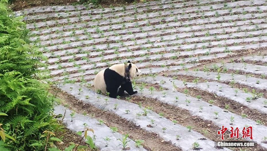 在田地里的大熊猫