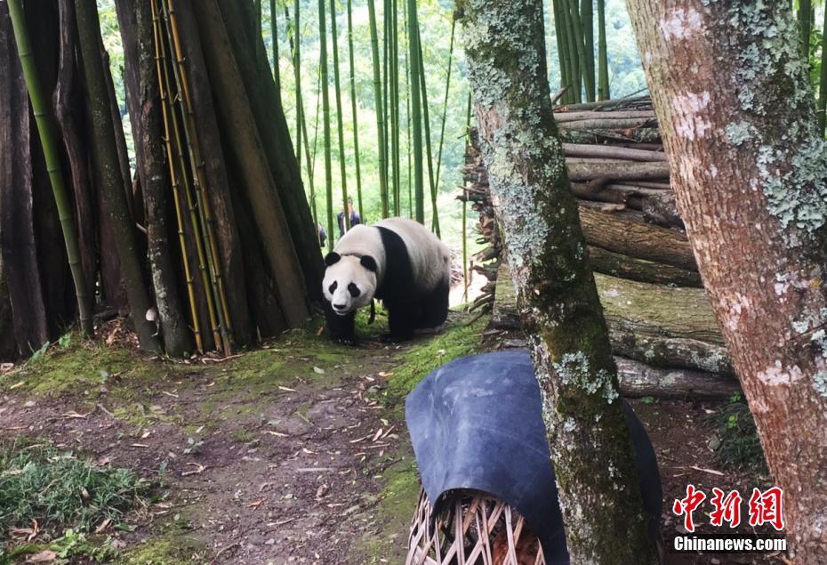 四处溜达的大熊猫