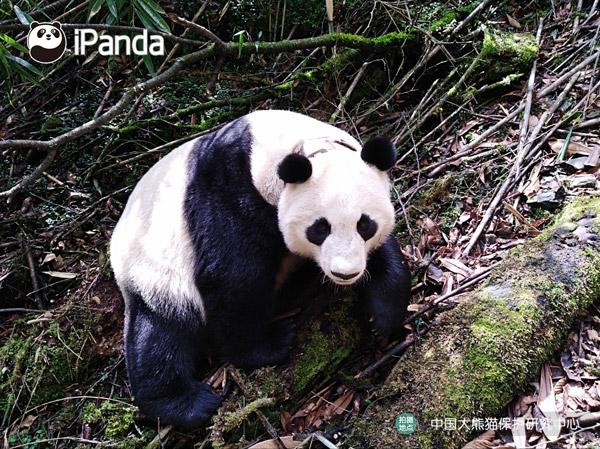 """大熊猫""""珍珍"""""""