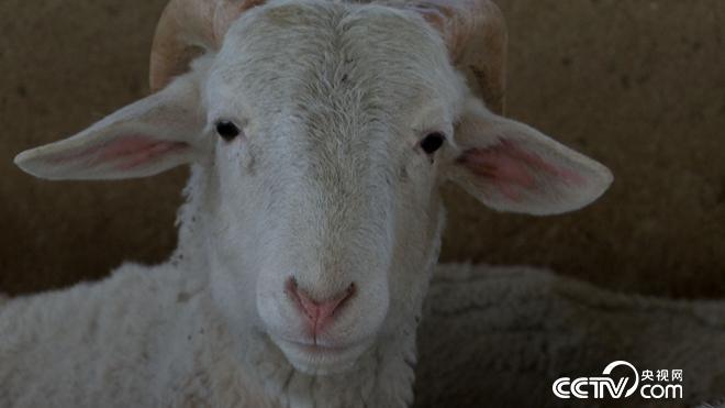 [美足电影经]甘肃榆中县黄有兵养羊年销千万巧发羊财