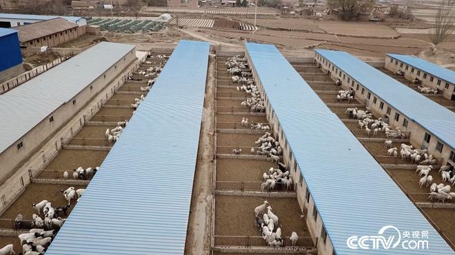 美足电影经:甘肃榆中县黄有兵养羊年销千万巧发羊财