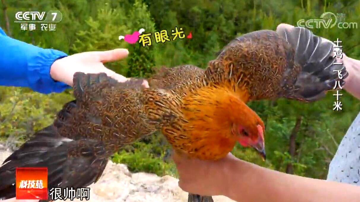 土鸡变金鸡