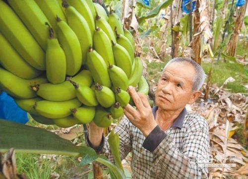 台蕉价从去年每公斤110元新台币崩跌至现今每公斤1至6元新台币。(图片来源:台湾《中时电子报》)