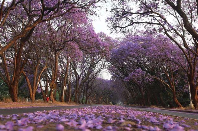 在津巴布韦首都哈拉雷,蓝花楹盛开。