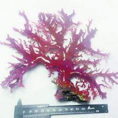 民警缴获被骗走的红珊瑚树摆件