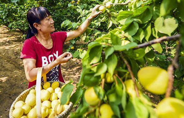 河北省廊坊市广阳区垡上村的果农在采摘鲜杏。