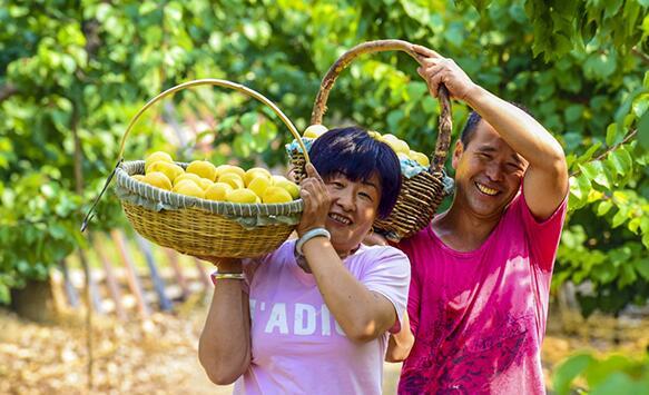 河北省廊坊市广阳区垡上村的果农在杏园收获刚采摘的鲜杏。