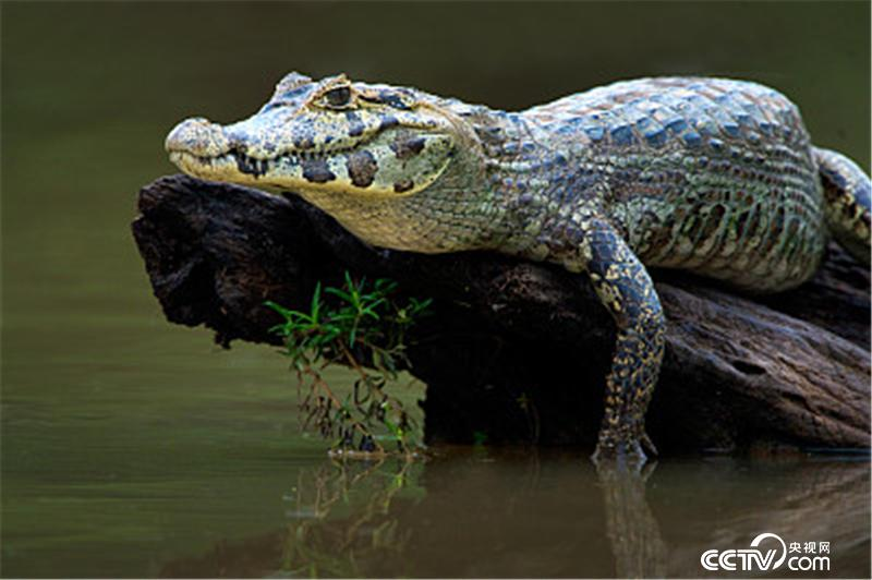 自然传奇 节目预告 蟒蛇大追踪 6月24日