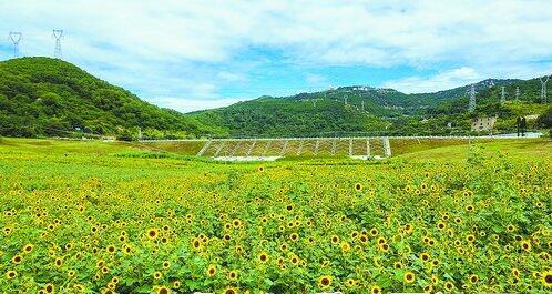 海沧坞窟水库正迎来新一轮的花期,50亩向日葵花海竞相绽。