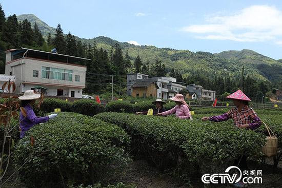 龙川县义都镇桂林村的茶叶科技种植示范园 (李文亮 摄)