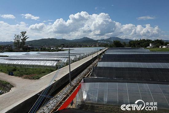 连平县三角镇石马村的无公害蔬菜种植基地  (李文亮 摄)