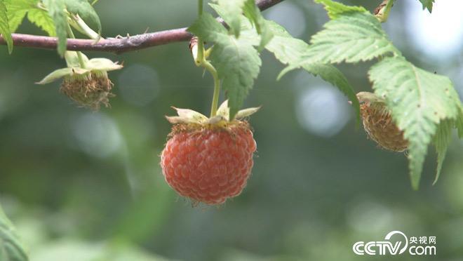 乡土:苦药味甜生活 7月3日
