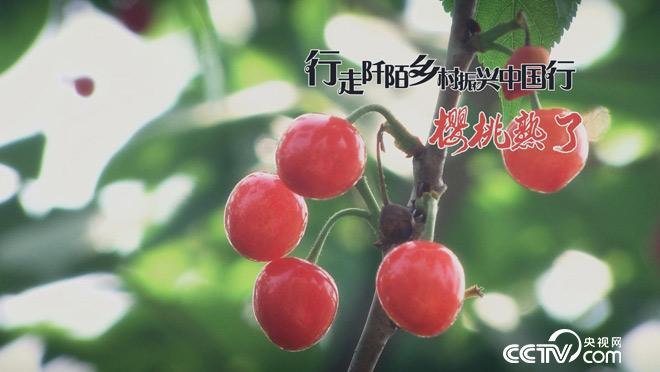 乡土:行走阡陌 乡村振兴中国行 樱桃熟了 7月5日