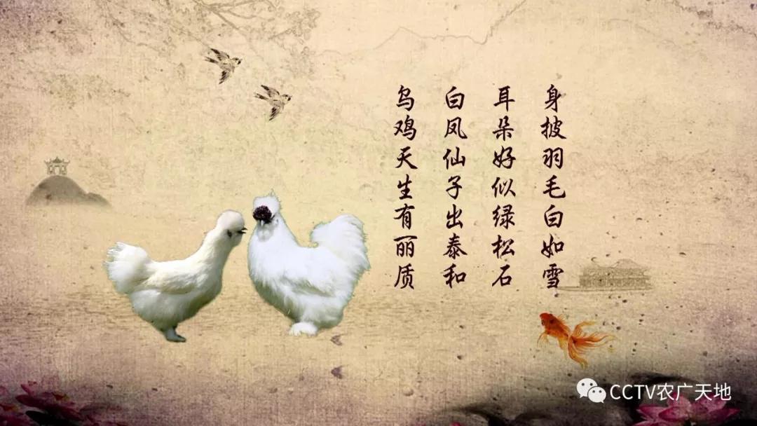 """被称赞为""""白凤仙子""""的鸡,您听说过"""
