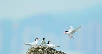 环岛路附近海域最近出现罕见的粉红燕鸥