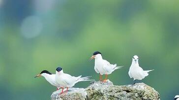 左边三只是粉红燕鸥,右边两只是黑枕燕鸥