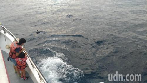 飞旋海豚。台湾《联合报》记者杨德宜/摄影