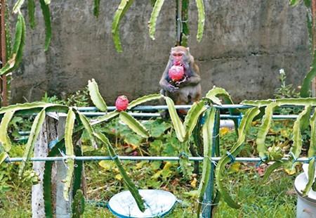 屏东县满州乡火龙果又价跌,果农苦笑:就让猴子尽情享用吧。