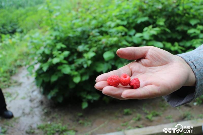 苏小兰家的致富果树莓