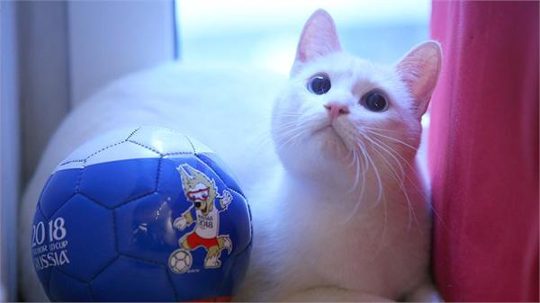 """本届世界杯惊现""""预言帝"""" 居然是一只名为阿西尔的白猫"""
