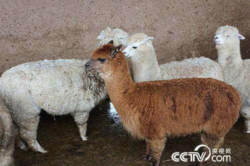 甘肃宏福现代农牧产业有限责任公司引进的羊驼