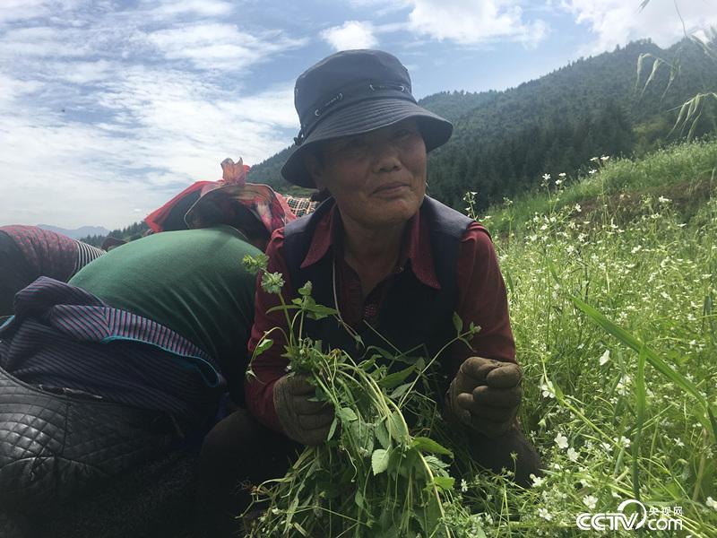 让吾道村浪沿自然村64岁的村民闰莲在育苗基地除草
