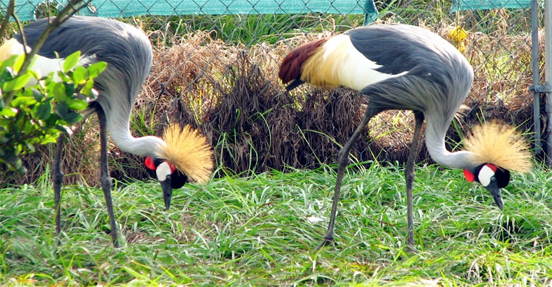 -Two Grey Crowned Crested Cranes at the breeding Santuary at Uganda Wildlife Education Center (UWEC) in Entebbe. (Photo by Timothy Sibasi)