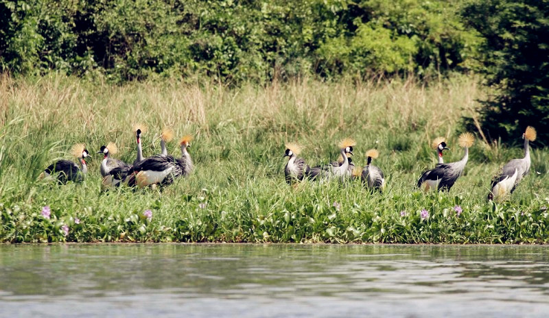 Grey Crowned Crested Cranes at the showers of River Life in Jinja. (Photo by Timothy Sibasi)