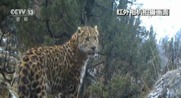 """三江源""""两豹同行""""珍贵视频公布"""