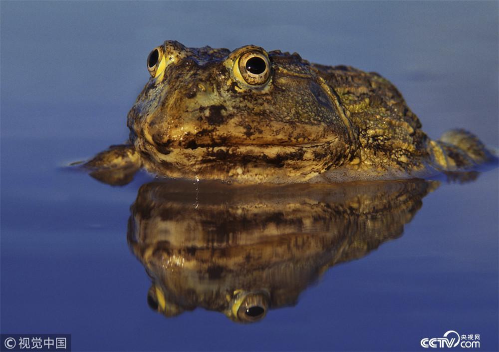 妈妈的背上最安全 佛罗里达可不只是用来度假的。大口黑鲈鱼在清澈的水中追着沉底的小树枝。这种鱼传说中的大嘴让它成为了意想不到的刺客。大口黑鲈鱼拥有极佳的视力,它要准备出击了。青蛙感知到了自己领域内最轻微的动静并试图逃跑。然而即便是像它这样高超的游泳选手,在速度如此之快的大嘴下,也毫无胜算。这条大口黑鲈鱼一口吞掉了青蛙的一条腿。事实上,它什么都吃,只要对方没把它先吃掉。